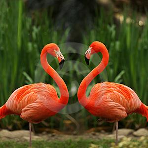 Flamingo - Chim hồng hạc