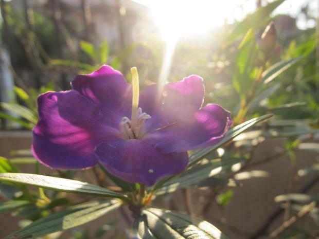 Hoa tím trong nắng sớm